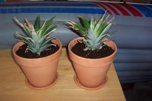 Шаг 4- укоренение верхушки. Посаженные ананасы