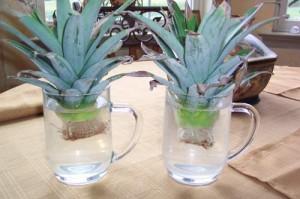 Шаг 3 – проращивание корней верхушки. Проращивание корней ананаса