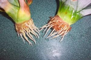 Шаг 3 – проращивание корней верхушки. Проросшие корни